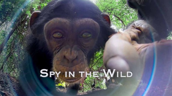 Шпионы в дикой природе 5 серия. Знакомство со шпионами / Spy in the Wild (2017)